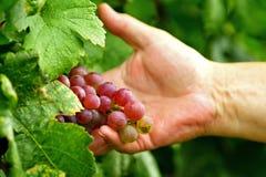 Racimo de la uva de la explotación agrícola del hombre imagenes de archivo