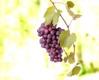 Racimo de la uva roja Fotos de archivo libres de regalías