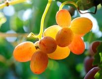 Racimo de las uvas Fotografía de archivo libre de regalías