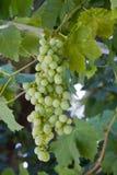 Racimo de las uvas Imagen de archivo