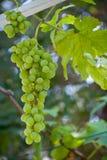 Racimo de las uvas Fotos de archivo