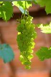 Racimo de las uvas Foto de archivo libre de regalías