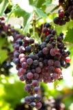 Racimo de las uvas Fotografía de archivo