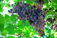 Racimo de las uvas Imagen de archivo libre de regalías