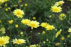 Racimo de margaritas amarillas coloridas del verano Imagen de archivo