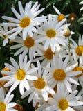 Racimo de margaritas blancas Imagen de archivo libre de regalías