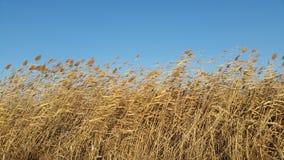 Racimo de Reed en viento y luz caliente Fotos de archivo libres de regalías