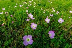 Racimo de Texas Pink Evening Primrose Wildflowers Imagen de archivo libre de regalías