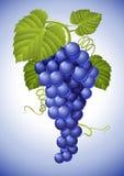 Racimo de uva azul con las hojas verdes ilustración del vector