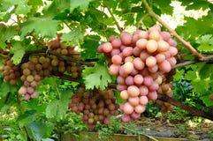 Racimo de uva rosada en vid Imagen de archivo