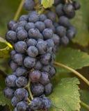 Racimo de uvas fotos de archivo