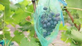 Racimo de uvas azules jugosas en viñedo Manojo de bayas orgánicas maduras listas para ser cosechado en otoño Tiro del carro metrajes