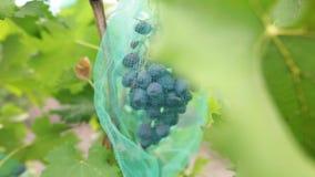 Racimo de uvas azules jugosas en viñedo Manojo de bayas orgánicas maduras listas para ser cosechado en otoño Tiro del carro almacen de metraje de vídeo