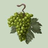 Racimo de uvas con una hoja Foto de archivo libre de regalías