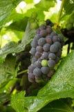 Racimo de uvas de vino en la vid Fotos de archivo