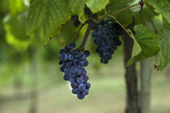 Racimo de uvas púrpuras oscuras que cuelgan en una rama del viñedo Foto de archivo