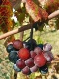 Racimo de uvas y de hoja Foto de archivo