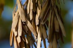 Racimo de vainas secadas de la semilla que cuelgan de Autumn Tree imagen de archivo