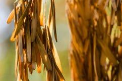 Racimo de vainas secadas de la semilla que cuelgan de Autumn Tree fotos de archivo libres de regalías