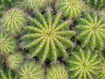 Racimo del cactus imagen de archivo libre de regalías