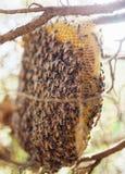 Racimo del primer de abejas en árbol de ciprés en Chiang Mai, Tailandia septentrional fauna Fotografía de archivo