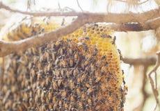 Racimo del primer de abejas en árbol de ciprés en Chiang Mai, Tailandia septentrional fauna Fotografía de archivo libre de regalías
