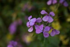 Racimo púrpura fotografía de archivo