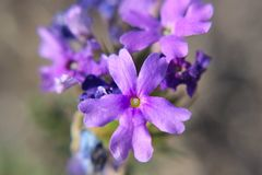 Racimo púrpura Fotos de archivo