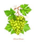 Racimo verde de la uva con las hojas verdes Foto de archivo libre de regalías
