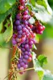 Racimo violeta de la uva foto de archivo
