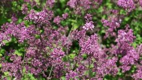 Racimos de flor coloreados púrpuras de la primavera de Syringa Meyeri en viento ligero, 4K de la lila almacen de metraje de vídeo