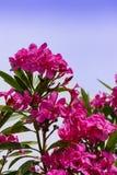 Racimos de flor de color rosa oscuro del adelfa Imagen de archivo libre de regalías