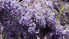 Racimos de flor violetas densos de planta que sube de la glicinia en el viento moderado, 4K almacen de video