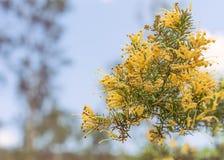 Racimos de flores de Grevillea del australiano Imagen de archivo libre de regalías