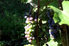Racimos de la uva en un viñedo respetuoso del medio ambiente fotos de archivo