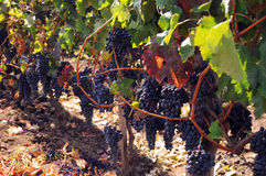 Racimos de la uva en vinetree Foto de archivo