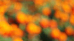 Racimos de oro de plantas florecientes de la maravilla en jardín almacen de video