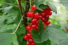 Racimos de pasa roja en una rama bayas en el jardín vitaminas naturales útiles Fotografía de archivo libre de regalías