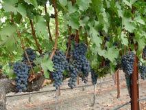 Racimos de uvas en una vid imágenes de archivo libres de regalías