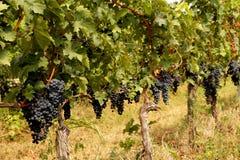 Racimos de uvas enormes en los arbustos, fila de plantas en el viñedo fotos de archivo