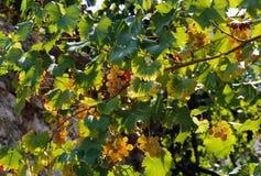 Racimos de uvas verdes maduras en las calles fotografía de archivo