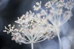 Racimos florecientes del eneldo Imagenes de archivo