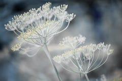Racimos florecientes del eneldo Fotografía de archivo