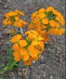 Racimos hermosos si la naranja del tiempo de primavera florece Foto de archivo