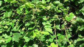 Racimos inmaduros de las frutas de las uvas en viento del verano almacen de video
