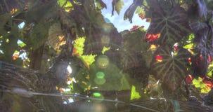 Racimos maduros de la uva en la vid almacen de video