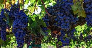Racimos maduros de la uva en la vid almacen de metraje de vídeo
