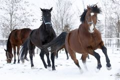 Racin horses running in the snow. Hanoverian racing horses running in the snow. Beautiful animals enjoying frosty winter day for playing Royalty Free Stock Images