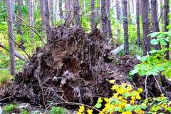 Racine d'arbre Photos libres de droits