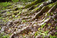 Racine d'arbre Images stock